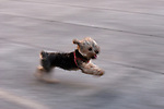 Fast Terrier in dog run in madrid, Spain. Slow shutter speed conveys the running motion of the dog.