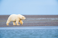 The Polar Bear is the master of most Arctic beaches.  Here a large female moves along a spit of land off the coast of Kaktovik, Alaska.