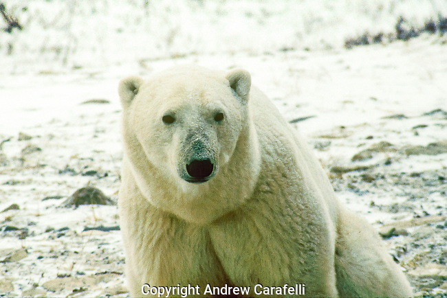 A polar bear near Churchill, Canada sits by the shoreline waiting for Hudson Bay to freeze over so he can hunt seals.