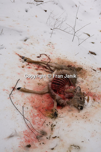 A small whitetail deer lays dead in the forest in Jamaica Vermont. The recently dead animal could not escape a coyote that attacked from the rock ledge above. The deer has been partially comsumed during daylight hours. The ice covered ground and severe weather conditions may have contributed to the deers inability to get food or to escape to safety. Many other scavengers including some large crows and ravens seen nearby will benifit from the death of this young animal.
