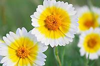 Tidy Tip (Layia platyglossa). Carrizo Plain National Monument, California