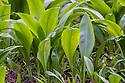 Wild Garlic / Ramsons (Allium ursinum) leaves emerging in early spring. Peak District National Park, Derbyshire, UK. March.