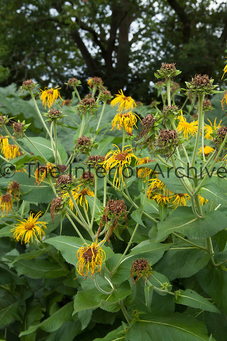 Fading flower heads of Inula magnifica 'Sonnenstrahl' at Great Dixter