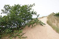 Binnendüne, Sandgebiet, Trockenbiotop, sandig, Baum wird vom Sand einer Düne vergraben