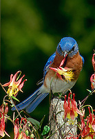 Blue bird, sialia sialis,  on fencepost eating columbine, flowers,  Aquilegia formosa,