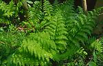 AF5GKD Pteridium aquilinum bracken fern leaf frond