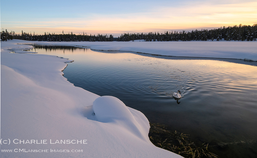 A young trumpeter swan casually paddels upstream during a peaceful winter evening on Thurman Creek in Island Park, Idaho.