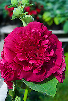 Alcea rosea Chater's Double Hollyhock Scarlet in bloom