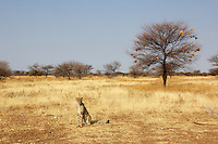 Cheetah at Otjitotongwe