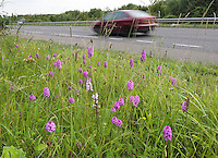 Pyramidal Orchid - Anacamptis pyramidalis and Common Spotted Orchid - Dactylorhiza fuchsii - on the road verge of the Barton le Cley A6 bypass.