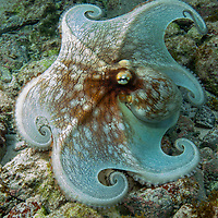 Common Octopus<br /> Trunk Bay St. John<br /> US Virgin Islands