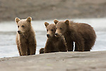 Three brown bear cubs sit on a beach beside a stream while mother looks for spawning salmon in Lake Clark National Park, AK