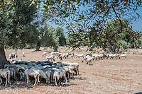 Un gregge di pecore sotto alberi di ulivo in Puglia
