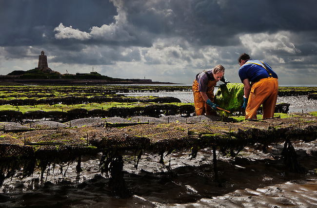 Oystermen tending their oysters at low tide in St. Vaast la Hougue, France, which is situated in the cradle of Normandy's oyster industry.<br /> <br /> The oysters are enclosed in sacks that need regular turning to separate them, and are farmed on either side of the town.<br /> <br /> The oyster growers of Normandy produce about 25% of all the oysters in France, approx. 35,000 metric tons annually. The area of oyster cultivation encompasses more than 2,700 acres.