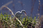 A cattle egret looks for insects at the edge of a canal.