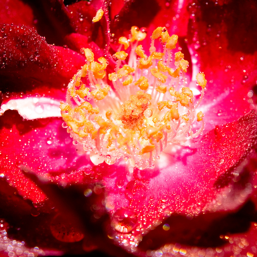 A macro closeup of a rose in bloom after a spring rain shower, in a backyard garden in Rockville Centre, New York.