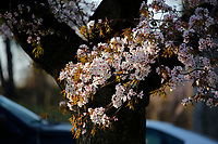 NEWARK, NJ - APRIL 14: Flowers are seen during the 41st annual Cherry Blossom Festival in branch brook park on April 14, 2017 in Newark, New Jersey. Photo by VIEWpress/Kena Betancur