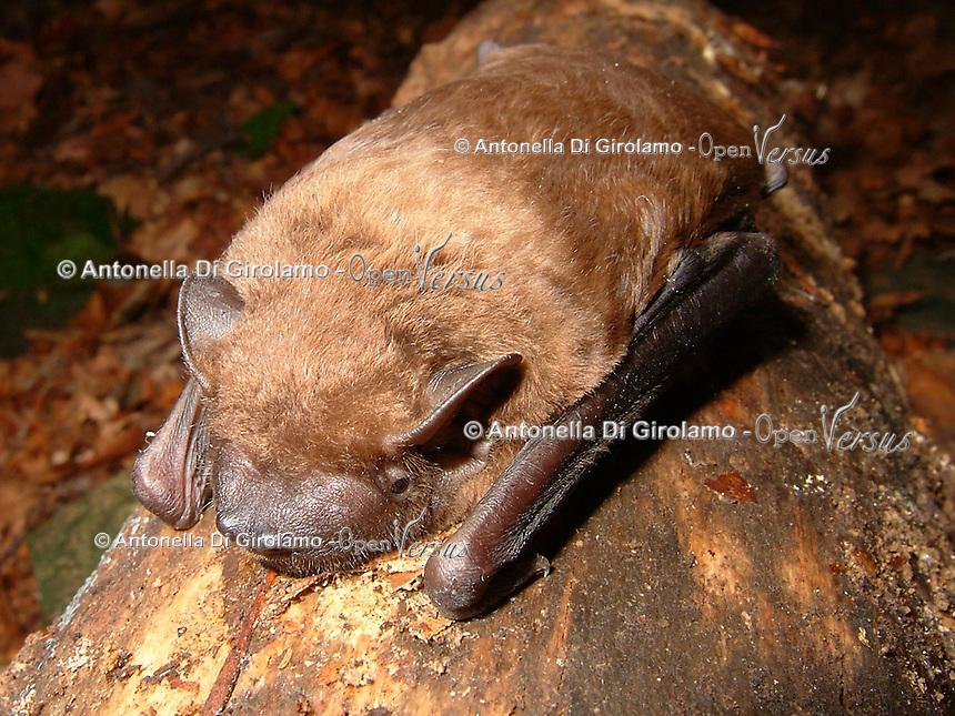 Pipistrelli.Bats. Nyctalus Noctula.Le foto sono messe gentilmente a disposizione dal prof. Paolo Agnelli, responsabile del progetto del dipartimento di zoologia dell'Università di Firenze...