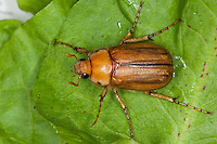 Gelbbrauner Brachkäfer, Rhizotrogus aestivus, June bug