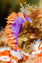 A Spanish Shawl Nudibranch, or Flabellina Iodinea feeding above Strawberry Anemone's in the Pacific Ocean off of Santa Cruz Island, Channel Islands, CA.
