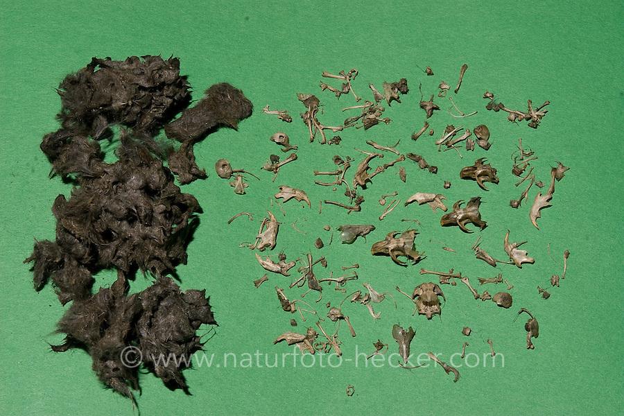 Gewölle einer Schleiereule, Schleier-Eule, präpariert, Knochen von Beutetieren, Kleinsäugern, Mäusen heraus gesammelt und von Fell, Haaren getrennt, barn owl