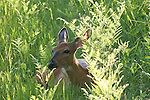 White-tailed deer - doe