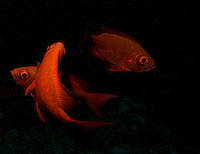 This image was taken at dusk in the Indian Ocean of the Maldives.Crown Squirrelfish (Sargocentron diadema) are large, active, nocturnal fish that tend to hide under rocks during daytime. I used a single strobe to overexpose their striking red colour and took hundreds of shots until my dive bottom time took me well into decompression. I wanted to capture not only their striking colour but also their intense gaze.