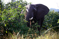 Zambia Chiawa, young elephant bull in Game Reserve Area of Lower Zambezi Nationalpark  / SAMBIA Chiawa, junger Elefant im Game Reserve Area des Lower Zambezi Nationalpark, Privatgelaende und Lodge des Unternehmers Charles Daves aus Simbabwe