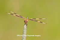 06579-005.16 Halloween Pennant (Celithemis eponina) female perched on grass near wetland, Marion Co., IL