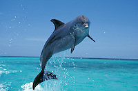 Common Bottlenose Dolphin or Bottle-nosed dolphin (Tursiops truncatus)