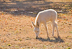 Jackass family with painted burro, gray burro and baby white burro in a field with trees