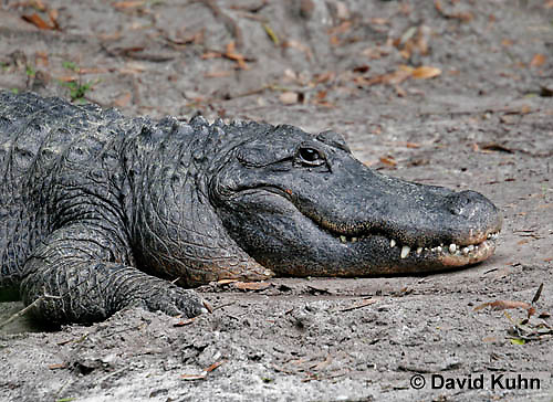 0218-08zz  American Alligator - Alligator mississippiensis © David Kuhn/Dwight Kuhn Photography