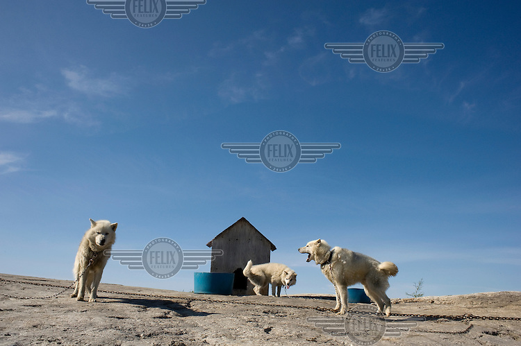 Huskies kept chained up outside a kennel during summer in the Inuit village of Kuujjuaq..