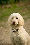 Labradoodle dog.