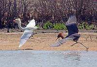 Dark morph chasing white morph reddish egret. Both birds in breeding plumage.