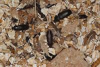 Mehlkäfer, gemeinsam mit Larven und Puppen, Mehlwurm, Mehl-Wurm, Mehl-Käfer, Tenebrio molitor, yellow mealworm beetle
