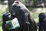 """Foto: VidiPhoto<br /> <br /> ARNHEM – De gorillagroep van Burgers' Zoo bestudeert dinsdag aandachtig het boek """"Stoor nooit een vlooiende aap"""" van de biologe Constanze Mager. De eerste vier exemplaren van de oplage kregen de mensapen toegesmeten omdat deze dieren prominent voorkomen de uitgave. Mager vergelijkt de dierenwereld met die van mensen op hun werk. Ze constateert verrassend veel vergelijkbare oplossingen tussen dieren tijdens groepsgedrag en conflicten en de mensenwereld. Volgens de biologe hebben dieren al lang een oplossing gevonden voor problemen die mensen dagelijks hoofdpijn bezorgen. """"Stoor nooit een vlooiende aap"""" wordt omschreven als een """"unieke combinatie van biologie, psychologie en management."""""""