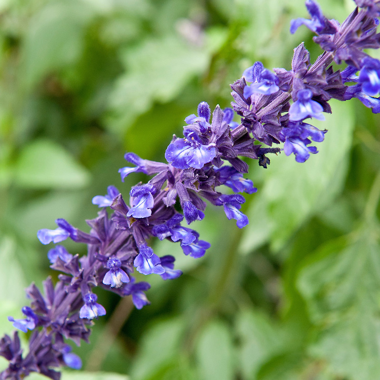 Salvia 'Indigo Spires', mid October.