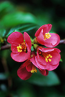 Close-up of group of pink Chaenomeles x superba 'Pink Lady', flowering quince, in Spring, Vancouver, BC