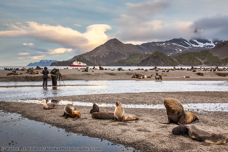 Photographers and Antarctic Fur Seals, Arctocephalus gazella on Right whale bay beach, South Georgia Island.