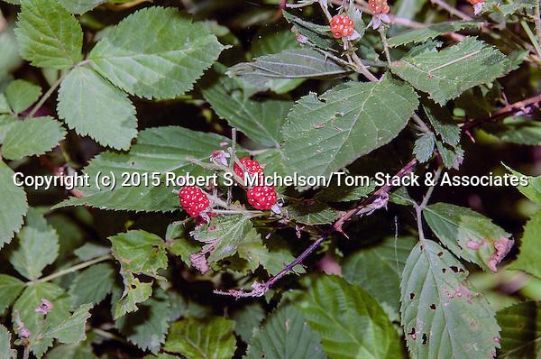 Wild Red Raspberry, Plymouth, Massachusetts