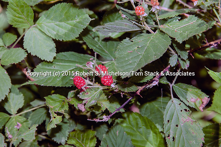 Wild Red Raspberry, Plymouth, Massachusetts