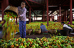 """Pictured: Workers painstakingly sort thousands of tomato fruits into wooden boxes at a warehouse at Inle Lake, Myanmar.<br /> <br /> Photographer Nguyen Huu Thong, 32, from Vietnam said: """"Once rotten tomatoes are removed from the piles the rest are packaged into wooden crates and exported to nearby states where they are sold at markets and to companies who make tomato sauce.""""<br /> <br /> The tomatoes are gathered from farmers fields and brought straight to this warehouse, hence the variety of colours seen here.  <br /> <br /> Please byline: Nguyen Huu Thong/Solent News<br /> <br /> © Nguyen Huu Thong/Solent News & Photo Agency<br /> UK +44 (0) 2380 458800"""