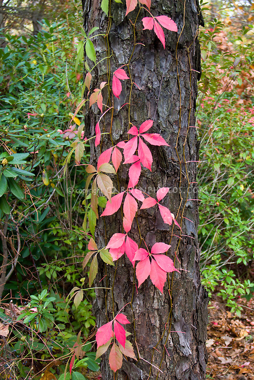 Parthenocissus quinquefolia climbing vine in autumn fall foliage color on tree trunk bark
