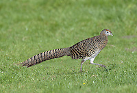 Lady Amherst's Pheasant - Chrysolophus amherstiae - female.