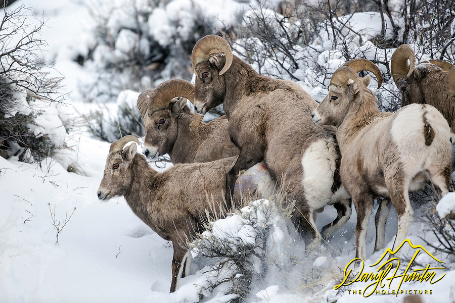 Love is in the air, bighorn sheep at breeding time.