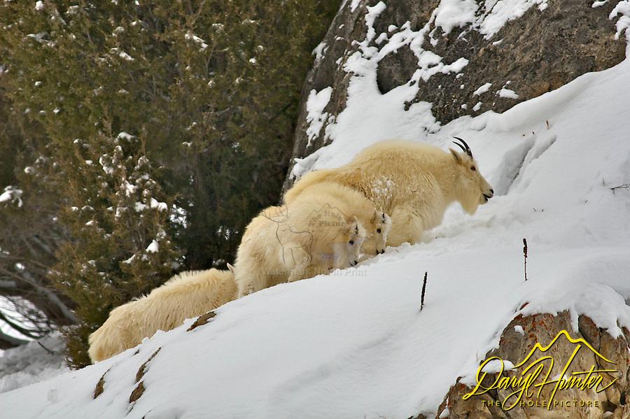 Alpine; Billy; Jackson Hole; kids; Mountain Goats; Nanny; Snake river Range; Wyoming