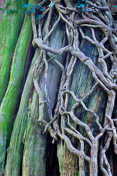 Roots of enormous, ancient ivy (hedera) still alive and growing on large Western Red Cedar (thuja plicata) with bark naturally stripped away by weather, erosion and animals, Stanley Park, Vancouver, BC.