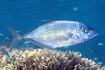 Carangoides bajad, Orange-spotted trevally, Raja Ampat, Indonesia