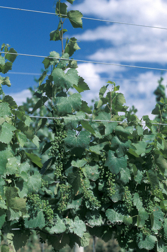 Young Grapes on the Vine